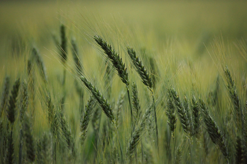 The wheat fields are beginning to turn ...