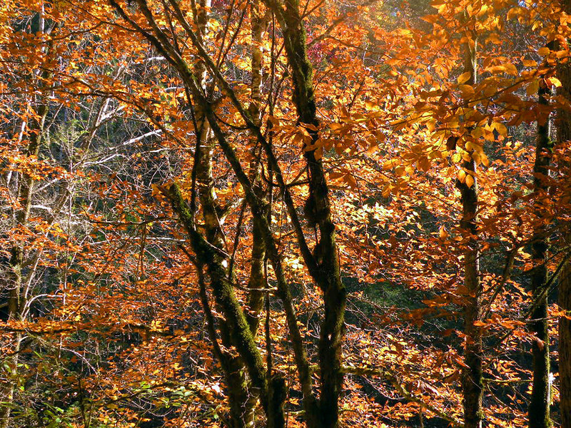 Golden leaves on the trees beside Citico Creek. The branches and trunk are coated with wiry green moss.