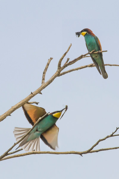 Bee Eaters with insects