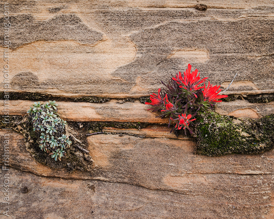 Flowers and sandstone, Zion National Park, Utah, March 2013.