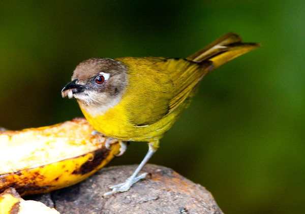 Tanagers and Honeycreepers-x