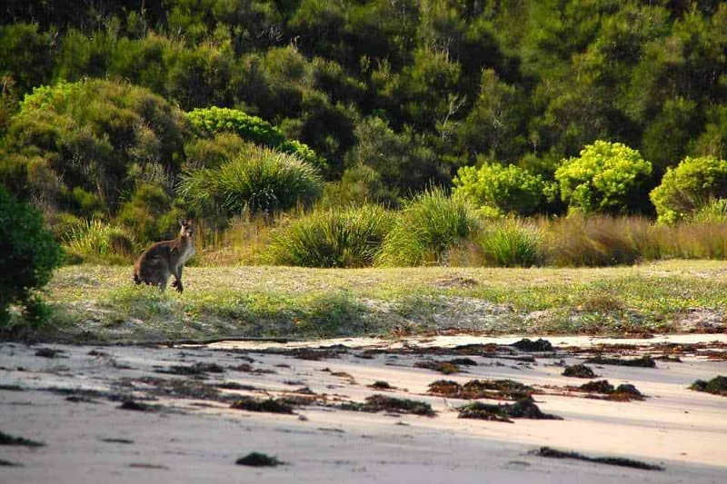 Kangaroo near the beach in Australia