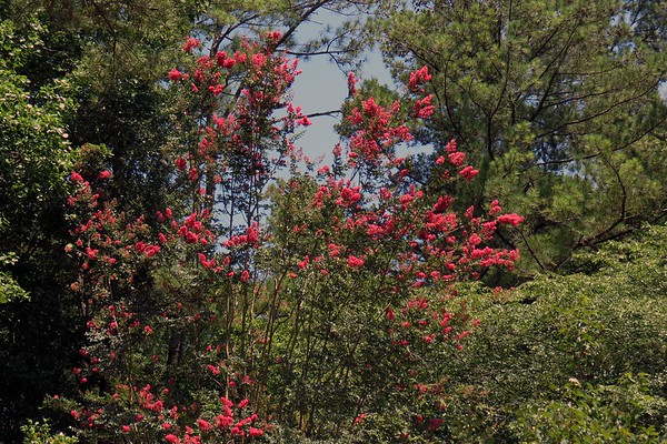 July 20:  The large Crape Myrtle is blooming .  .  .