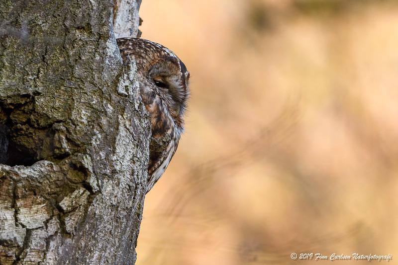 Natugle - Strix aluco - Tawny Owl