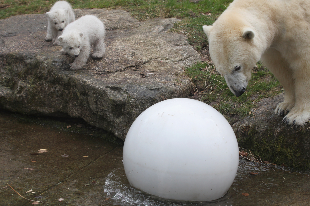 . 14 week-old twin polar bear cubs are seen with their mother Giovanna during their first presentation to the media in Hellabrunn zoo on March 19, 2014 in Munich, Germany. The male and female twins were born on December 9, 2013 in the zoo.  (Photo by Alexandra Beier/Getty Images)