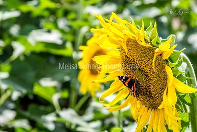 Sunflower Festival - Kansas Maze