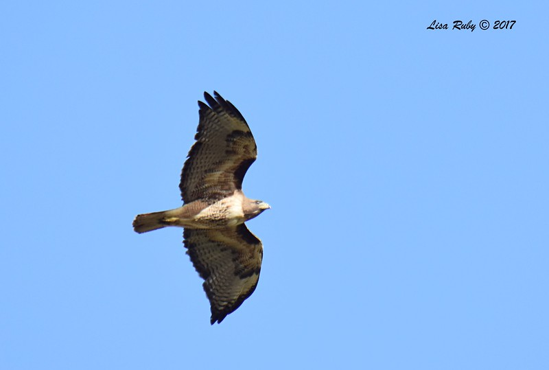 Red-tailed Hawk - 5/14/2017 - Sabre Springs hill