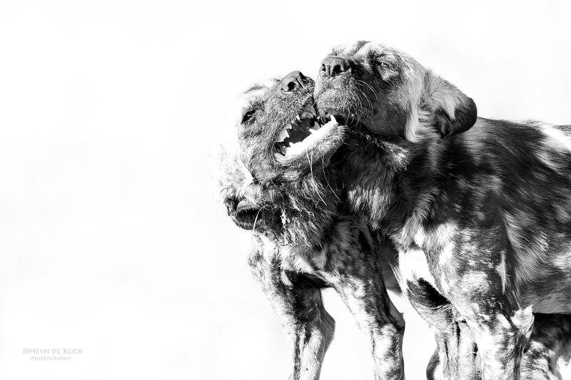 African Wild Dog, b&w, Khwai River Concession, Botwana, May 2017-3.jpg