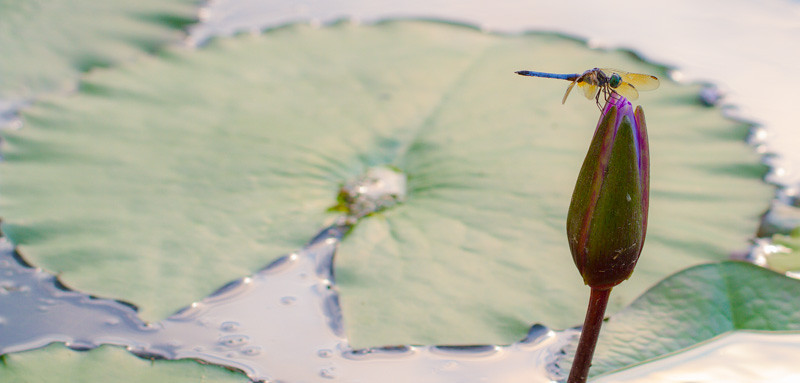 Lily  Pond 59