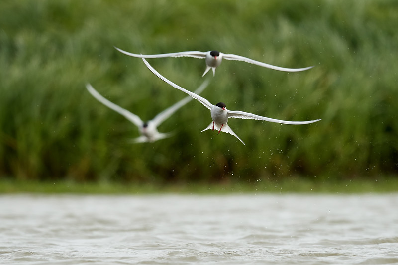 Arctic Terns on Pond - Grimsey Island, Iceland