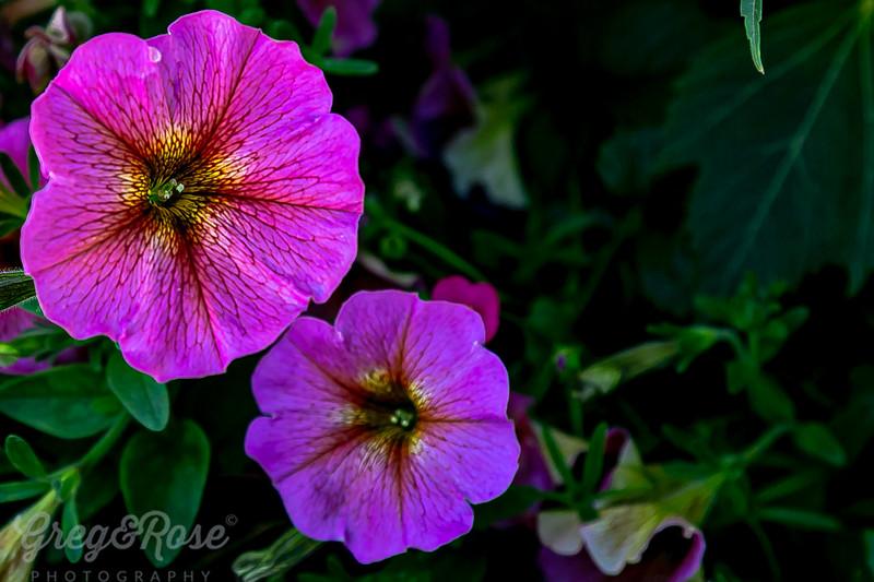 Petunia delight
