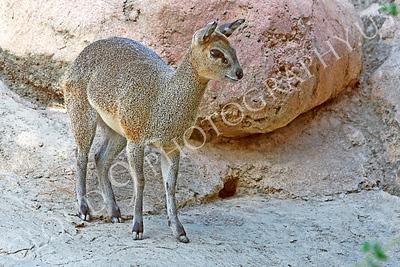 Klipspringer Wildlife Photography