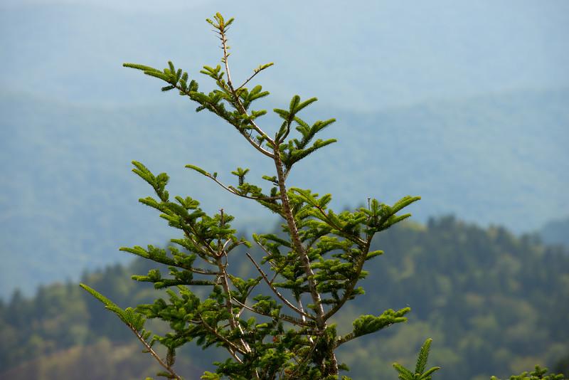 Smoky Pine