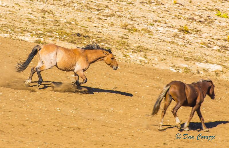 Duelng Mustangs 1-1aa.jpg
