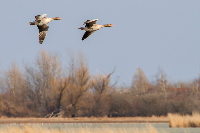 Only the geese could fly