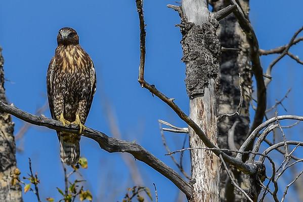 9-18-14 Harlan's Hawk