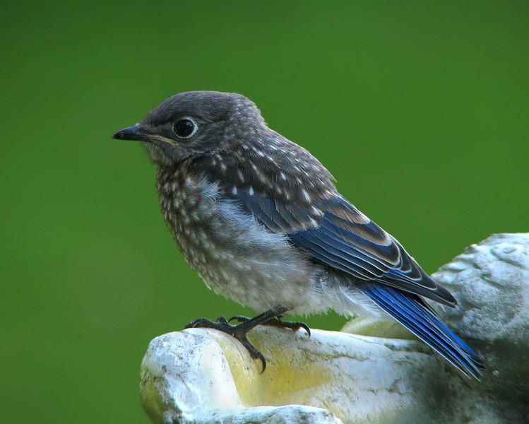 bluebird_fledgling_4560.jpg