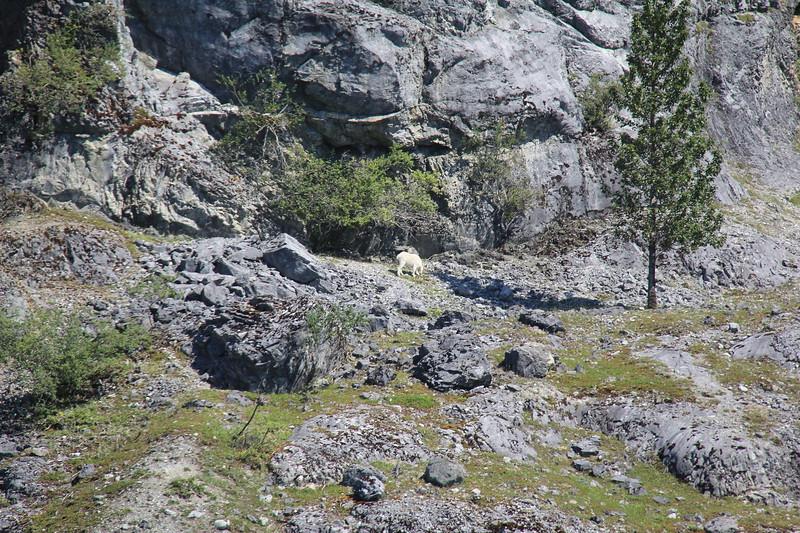 20160718-209 - WEX-Glacier Bay NP-Gloomy Knob-Mountain Goat.JPG