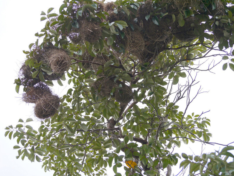Yellow-rumped Cacique nests