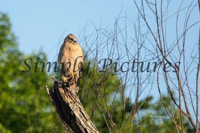 Hawk  005