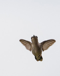 Charlottesville Hummers, July 21, 2014