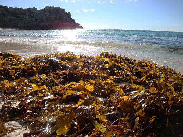 Rottnest Parakeet Bay seaweed.jpg