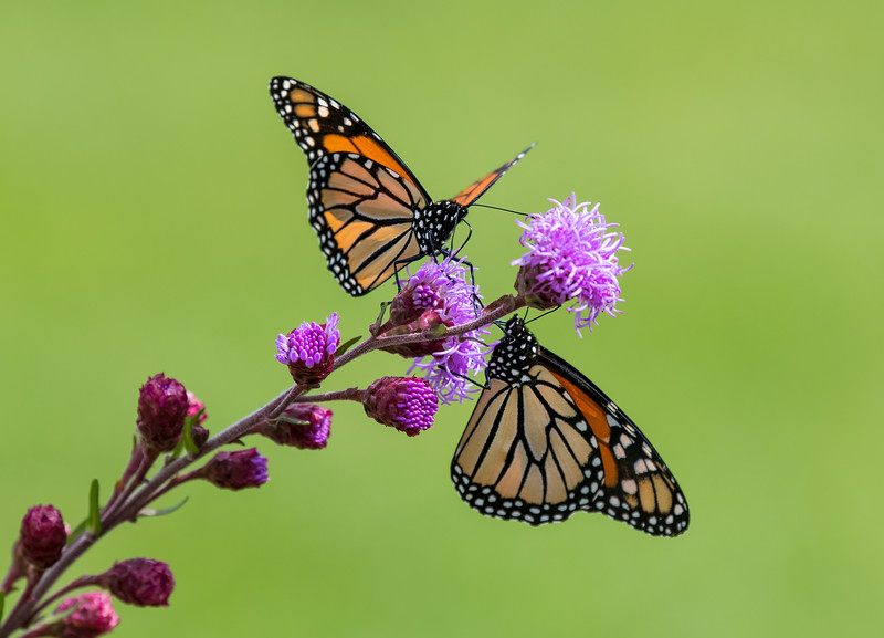 Monarch duet