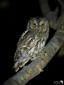 African Scops Owl Perched