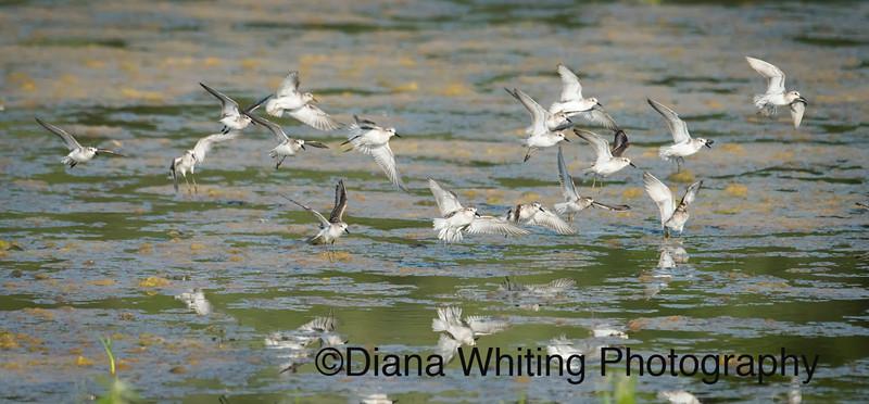 Shorebird Migration Montezuma Wildlife Refuge copy.jpg