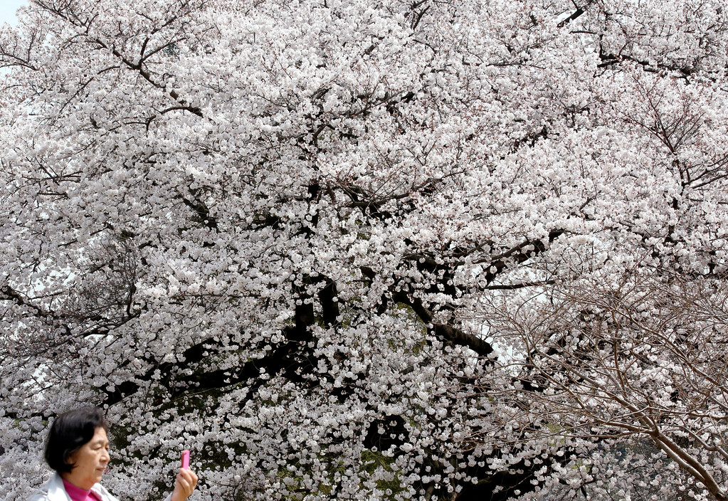 . A woman takes a picture of the cherry blossom at full bloom at Shinjuku Gyoen national garden in Tokyo, Monday, March 26, 2018. These flowers only last about a week but people are flocking to hot spots throughout Japan to enjoy the scenic sights. (AP Photo/Koji Sasahara)