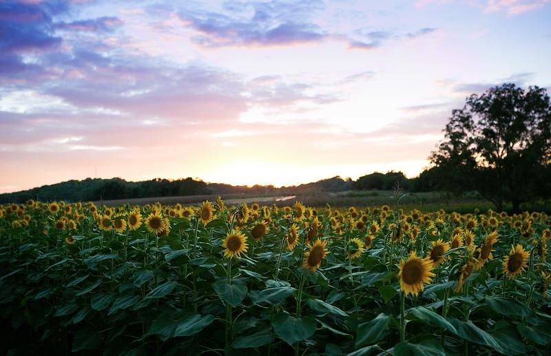 sunflowers2.jpg