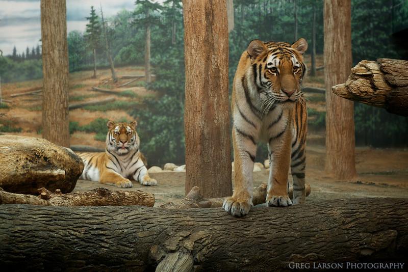Tiger-021.jpg