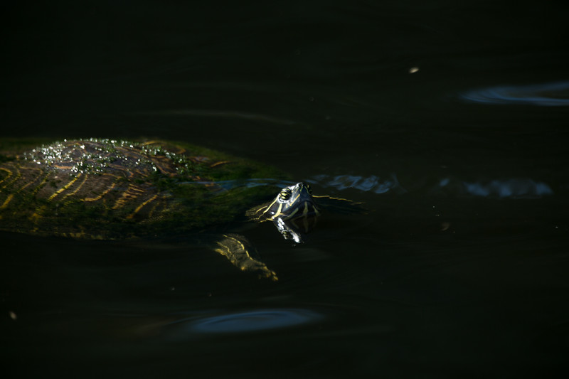 A florida red bellied turtle poke its head above the water line in Green Cay Wetlands in Boynton Beach, Florida on Friday, February 26, 2016. (Joseph Forzano / The Palm Beach Post)
