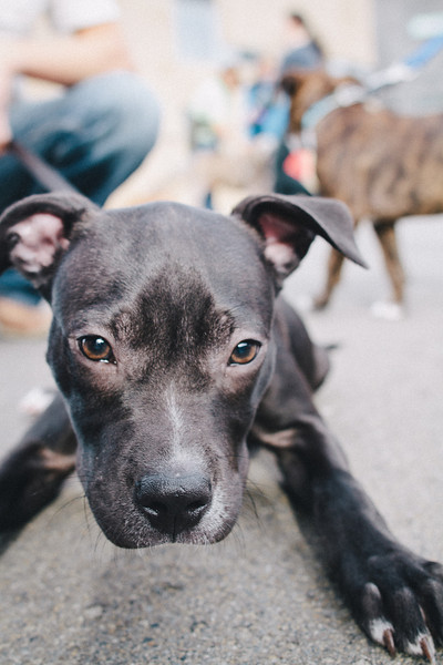 SPCA Puppy Walk - Queens Wharf