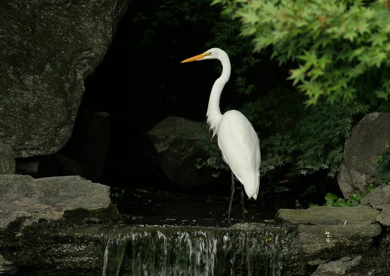 DSC_0756_egret_at_waterfall_lg.jpg