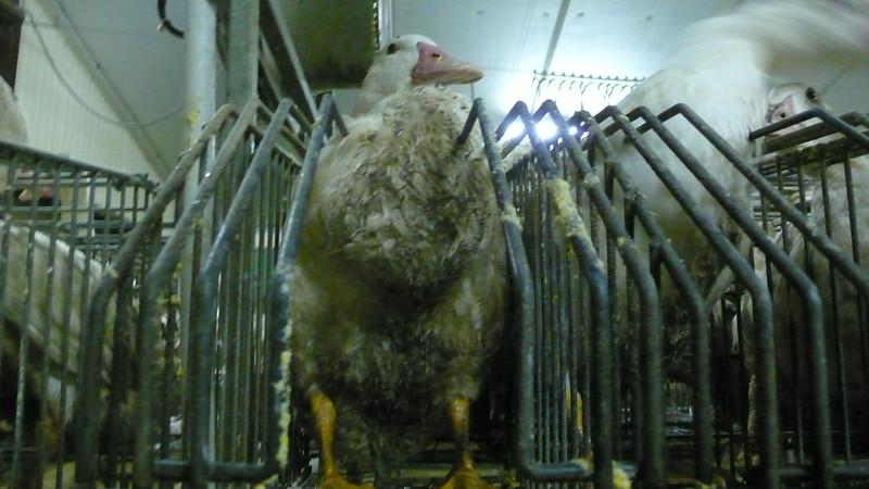 canards-foie-gras-2008-fr-B-007.jpg