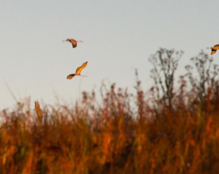 Sandhill Crane flock fly-in reflection Crex Meadows Grantsburg WI IMG_0039.jpg