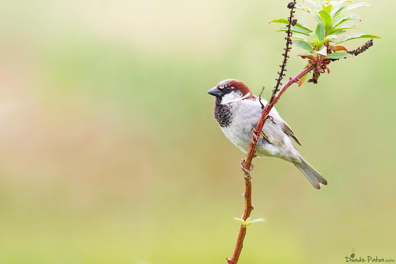 House Sparrow (Introduced)