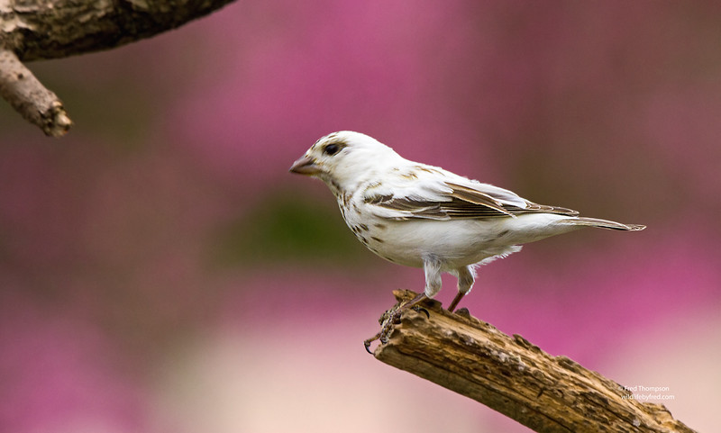 LEUCISTIC BIRDS & ANIMALS