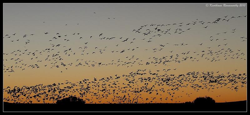 Snow Geese at sunrise, Bosque Del Apache, Socorro, New Mexico, November 2010