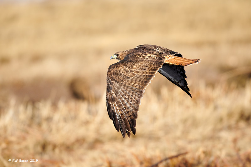 Red-tailed Hawk Over the Shoulder.jpg
