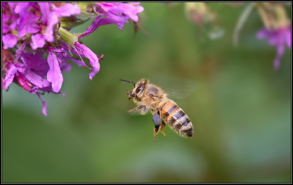 Honingbij/European honey bee