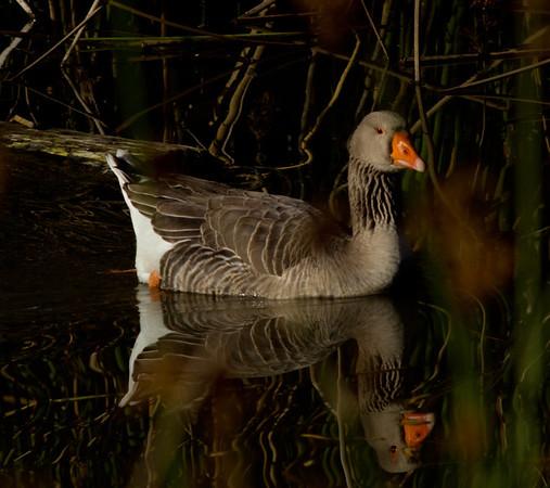 Graylag Goose Anser anser