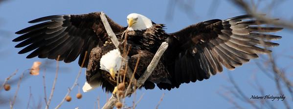 Findlay Eagles