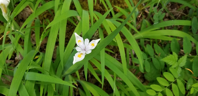 White Iriis near Collawash River on old Bagby Trail