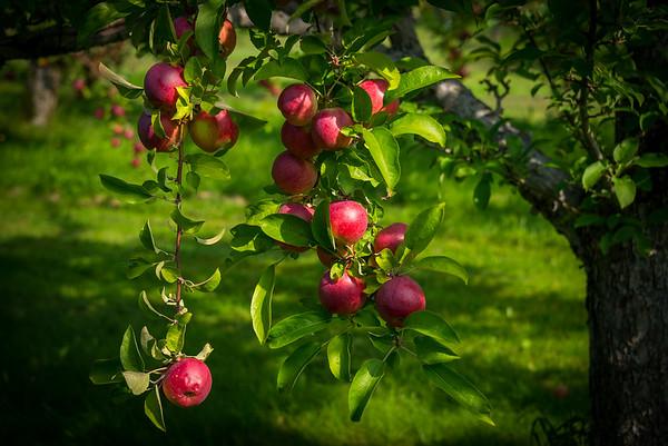 Adams Apple Orchard 2017