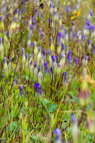 Gentianopsis crinita Greater Fringed Gentian Fermoy Road Bog Fringed Gentian Bog Sax-Zim Bog MN  IMG_0799.jpg