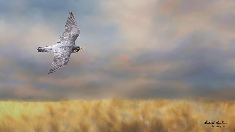 Peregrine -9797-sunovergolden field-Darken.jpg