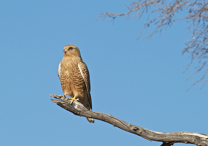 Greater kestrel, Namibia