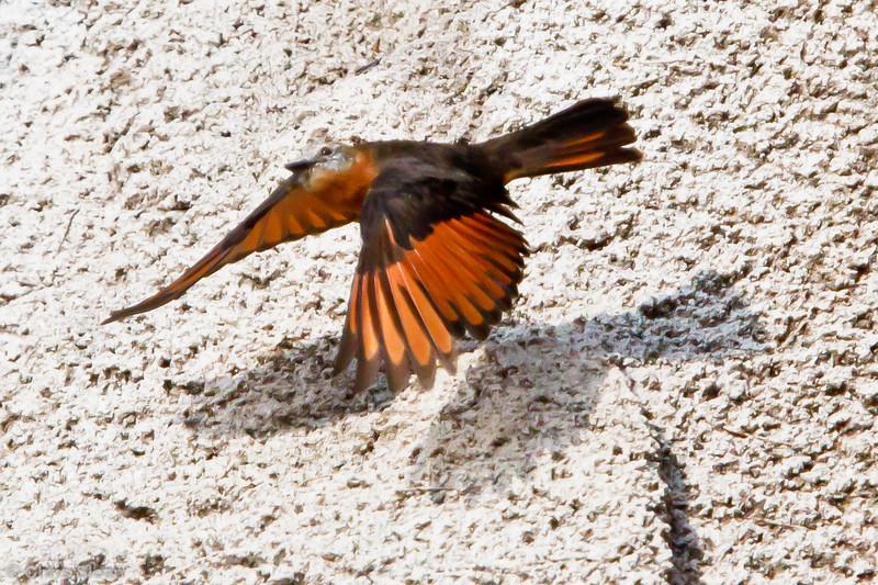 Cliff Flycatcher at La Escalera including Tunnel Area, Tarapoto, Peru (07-03-2010) 056.jpg